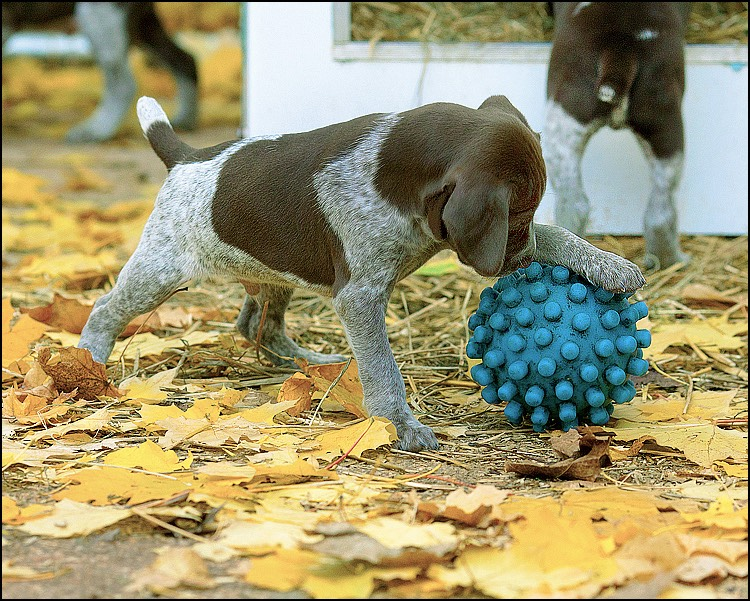 pup plays ball a